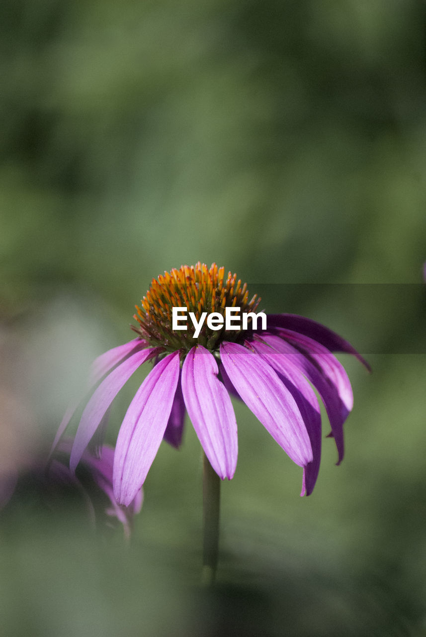 flowering plant, flower, fragility, vulnerability, petal, plant, beauty in nature, freshness, flower head, inflorescence, growth, close-up, coneflower, pollen, focus on foreground, no people, pink color, purple, nature, outdoors, sepal