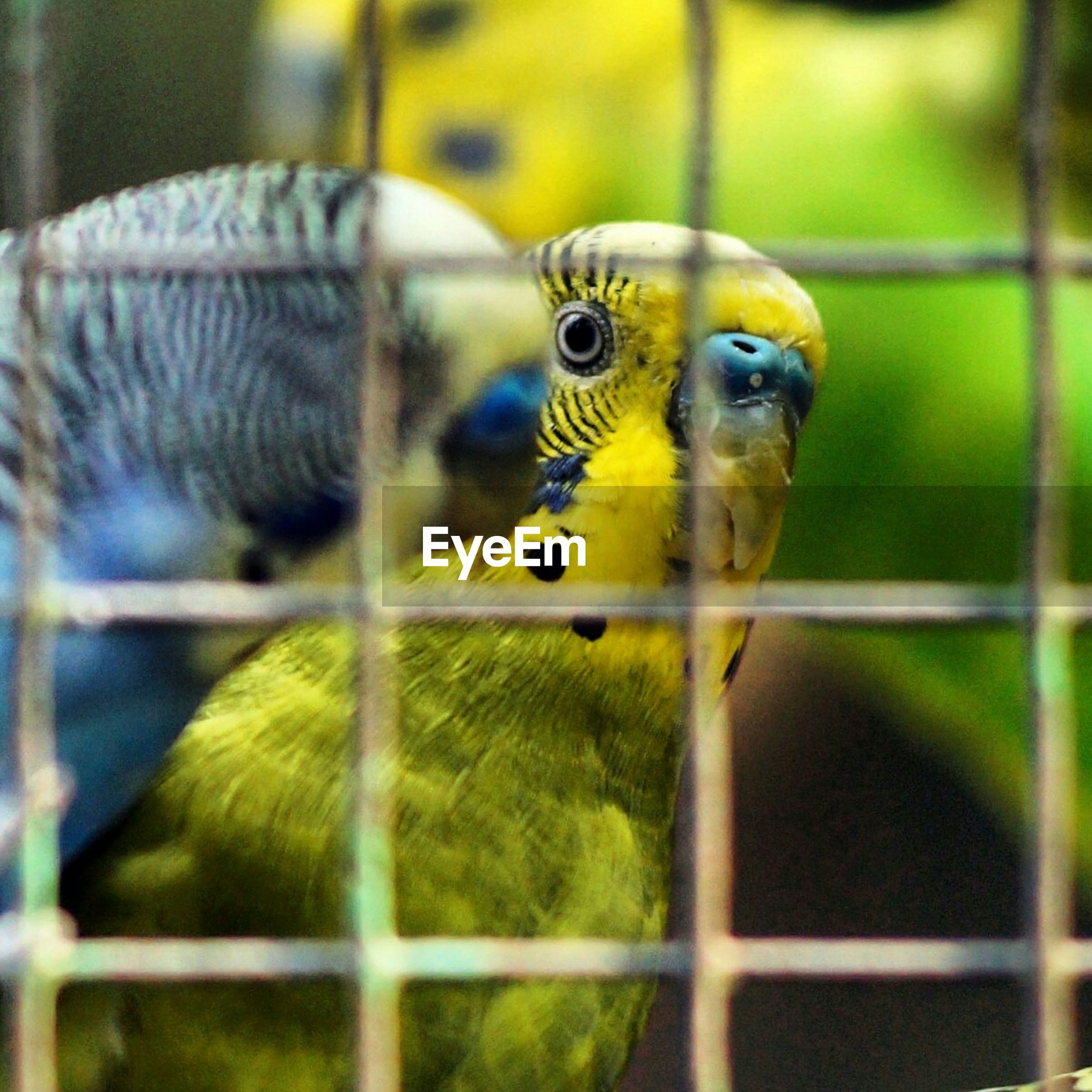 animal themes, one animal, animals in the wild, bird, wildlife, parrot, close-up, focus on foreground, animal head, beak, cage, perching, animals in captivity, yellow, zoo, multi colored, birdcage, looking, zoology, day