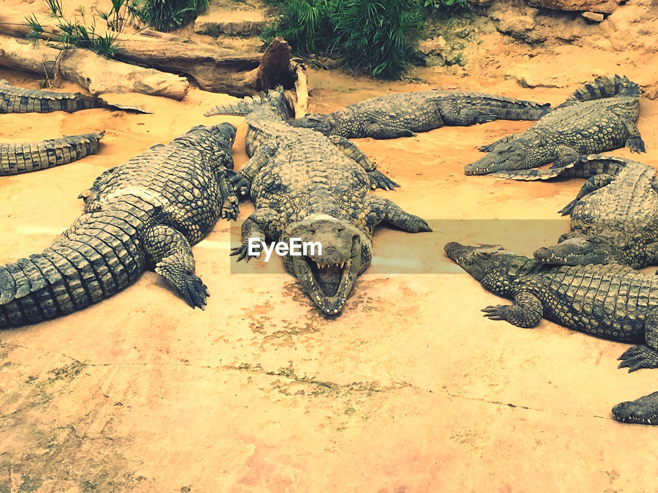Crocodiles on field at zoo
