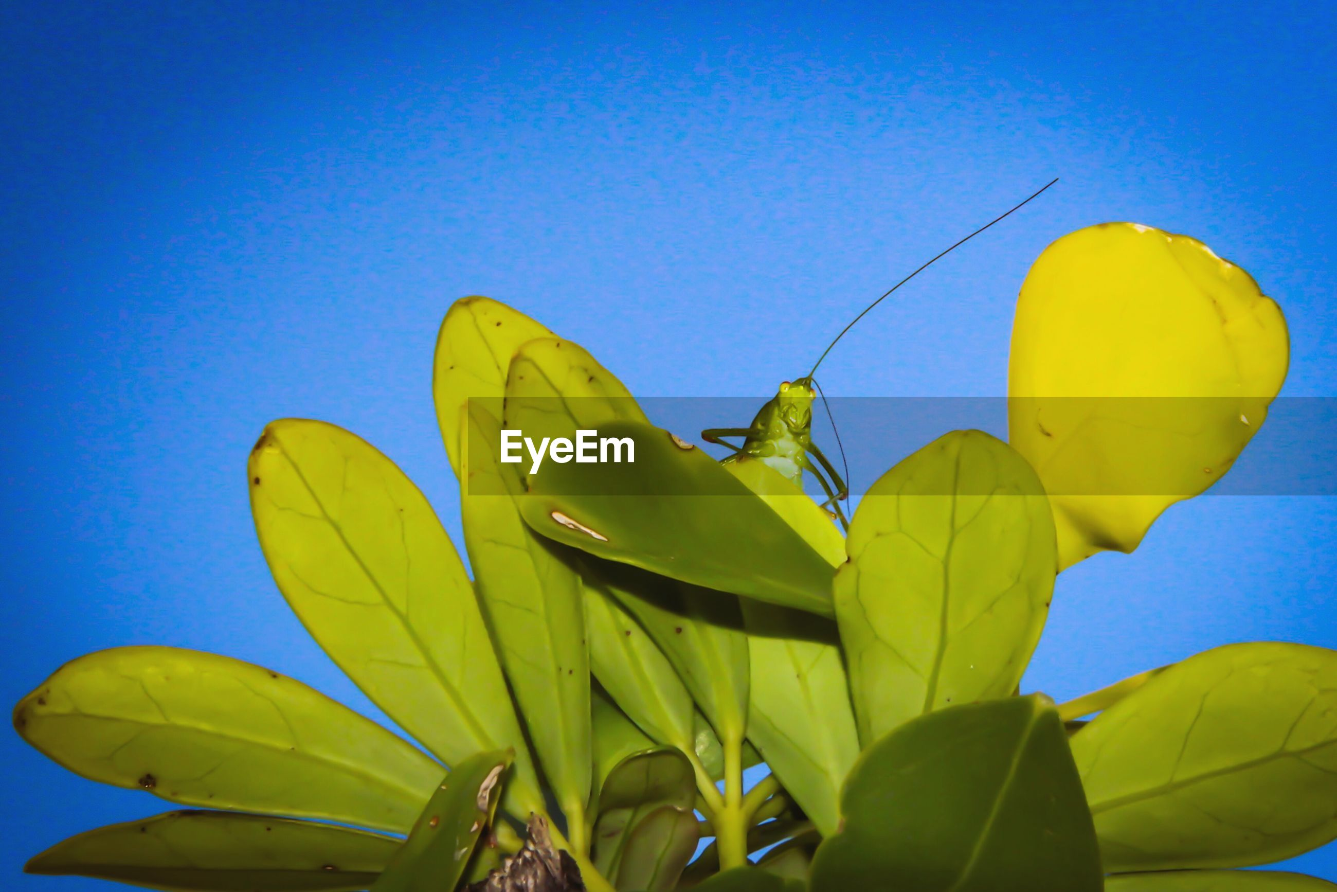 yellow, blue, low angle view, day, clear sky, leaf, outdoors, flag, no people, close-up, nature, sky