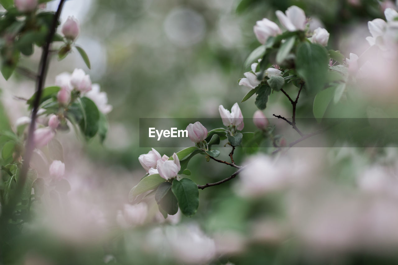 plant, flowering plant, flower, growth, beauty in nature, vulnerability, freshness, fragility, selective focus, close-up, no people, nature, day, petal, pink color, outdoors, flower head, inflorescence, blossom, botany, springtime, cherry blossom