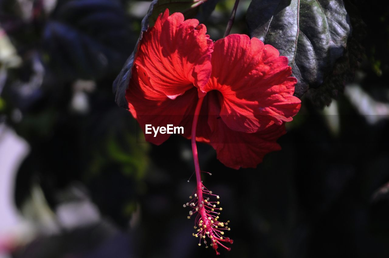flower, beauty in nature, nature, petal, fragility, growth, freshness, red, blooming, flower head, focus on foreground, no people, plant, outdoors, hibiscus, close-up, day