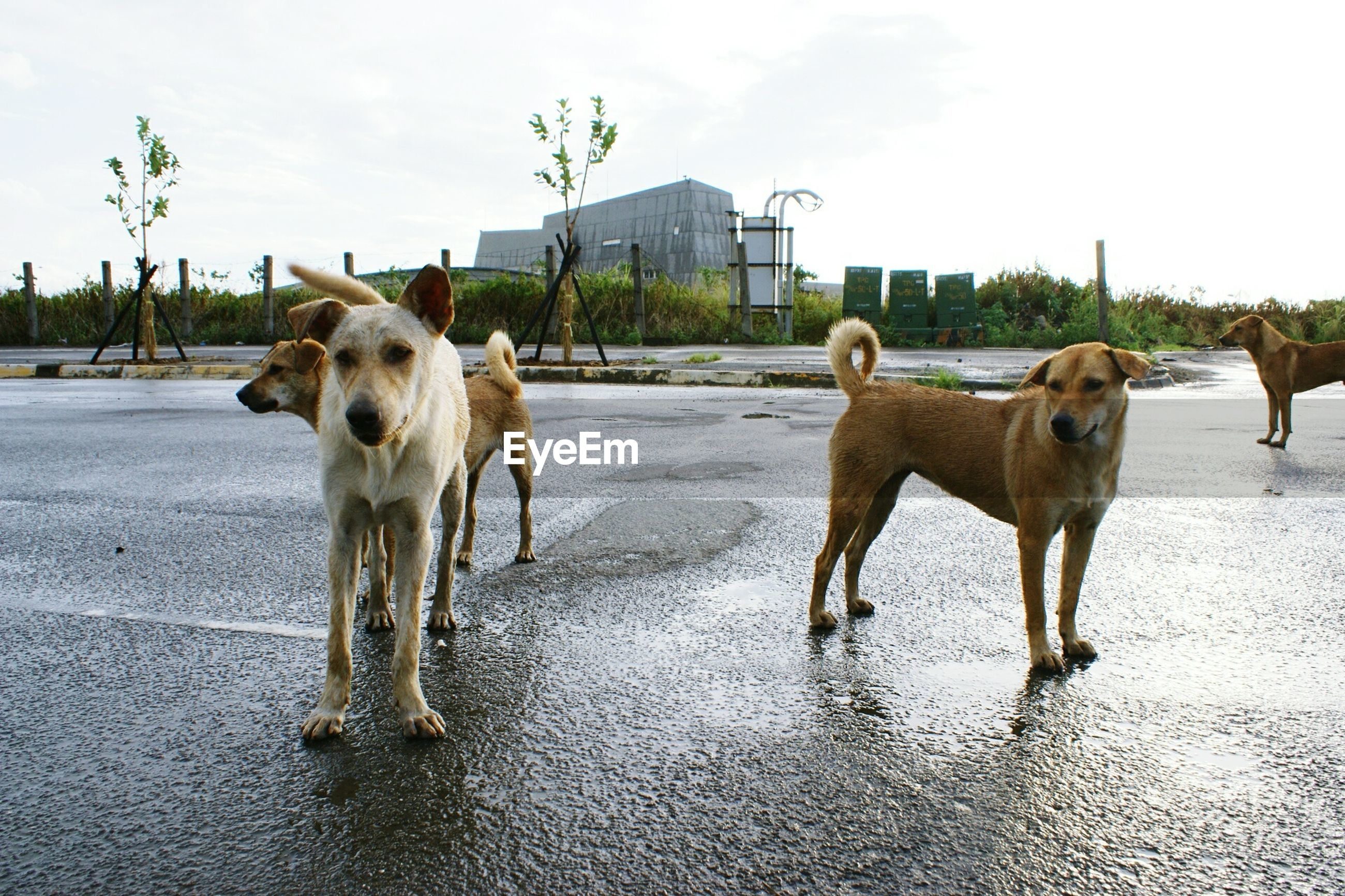 Portrait of dogs standing on road