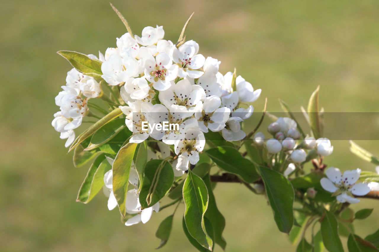 flowering plant, plant, flower, fragility, beauty in nature, freshness, vulnerability, growth, petal, close-up, white color, focus on foreground, flower head, nature, inflorescence, day, blossom, no people, springtime, tree, pollen, outdoors, cherry blossom