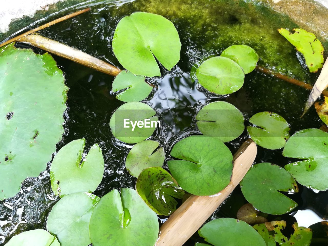 leaf, water, growth, green color, nature, floating on water, plant, lily pad, high angle view, no people, water lily, close-up, day, lake, outdoors, beauty in nature, freshness, lotus water lily