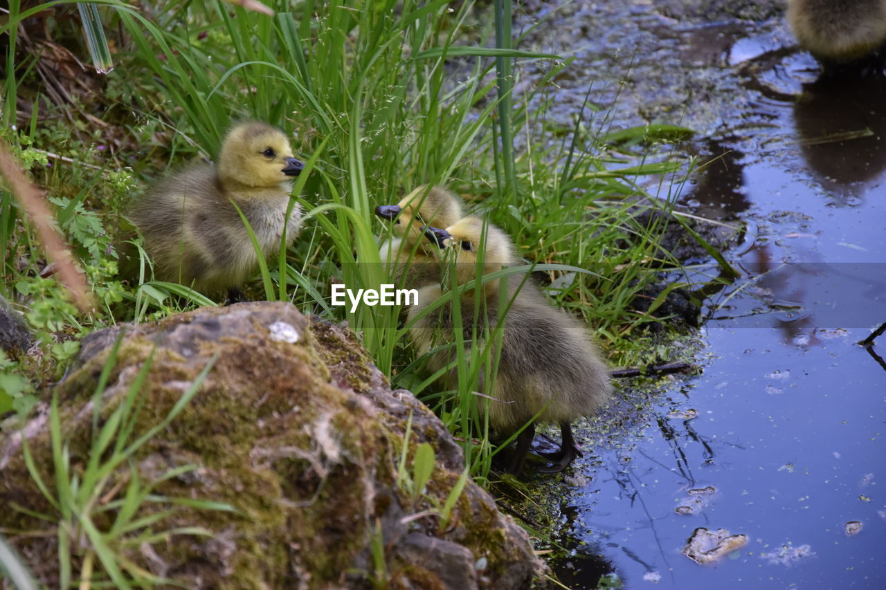 animal themes, animal, water, bird, vertebrate, group of animals, animal wildlife, animals in the wild, young bird, young animal, lake, nature, plant, no people, day, grass, duckling, duck, poultry, outdoors, gosling, animal family, cygnet