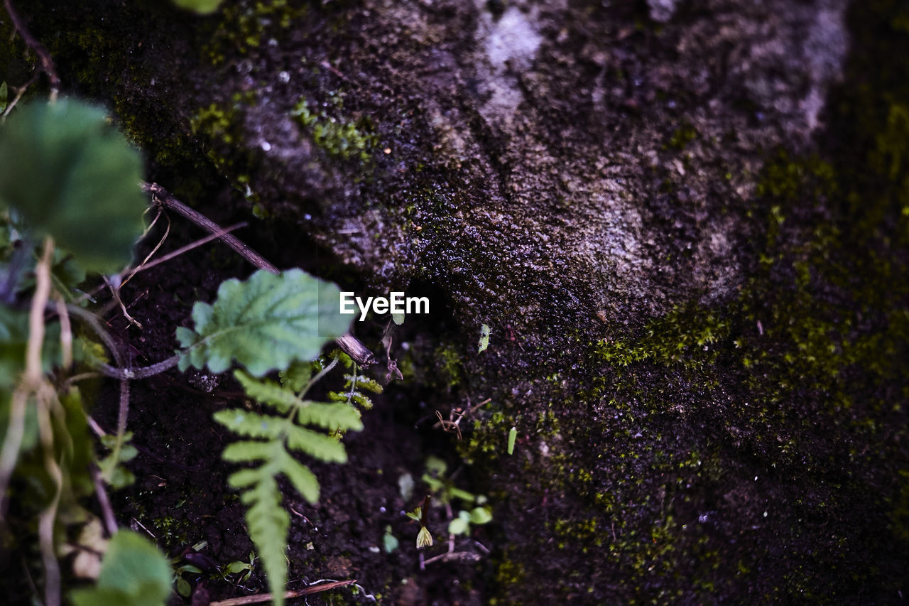 growth, plant, selective focus, nature, tree, trunk, tree trunk, close-up, no people, day, beauty in nature, moss, outdoors, plant part, leaf, green color, land, textured, forest, flowering plant, purple, lichen, bark