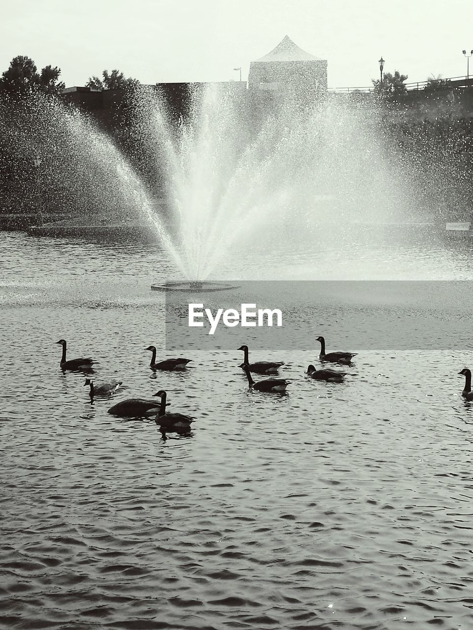 Ducks Swimming Against Fountain In Pond