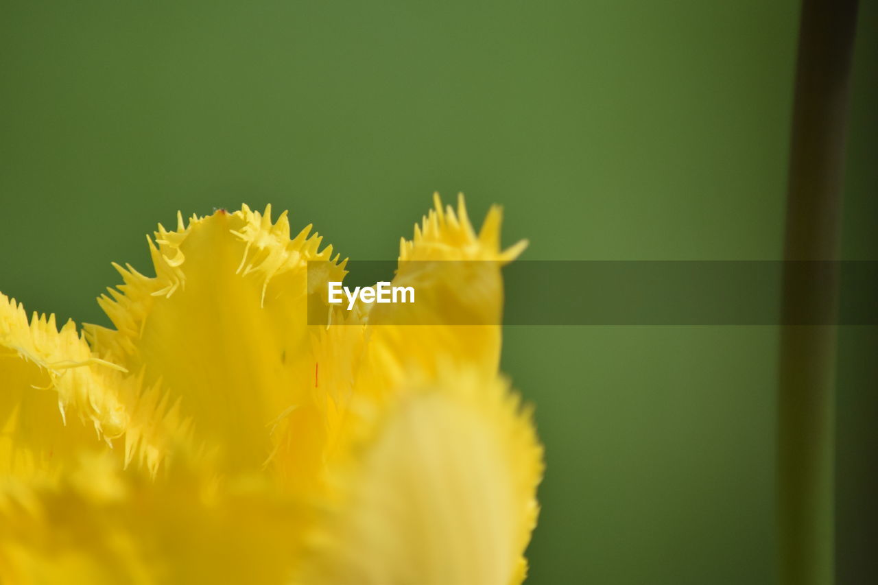 flower, flowering plant, plant, fragility, yellow, vulnerability, beauty in nature, freshness, flower head, petal, close-up, inflorescence, growth, selective focus, nature, no people, day, outdoors, copy space, pollen, sepal