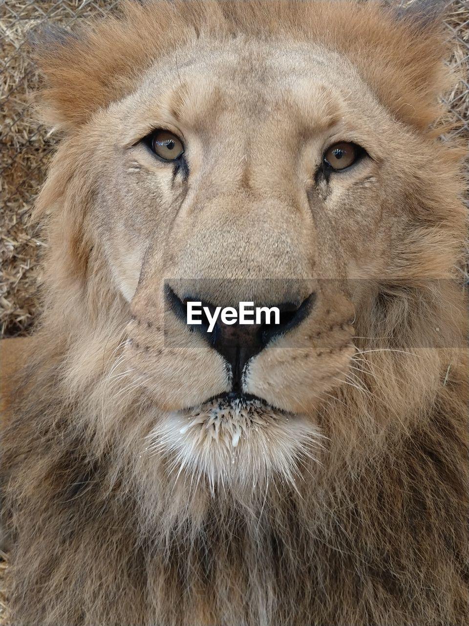 CLOSE-UP OF A LION