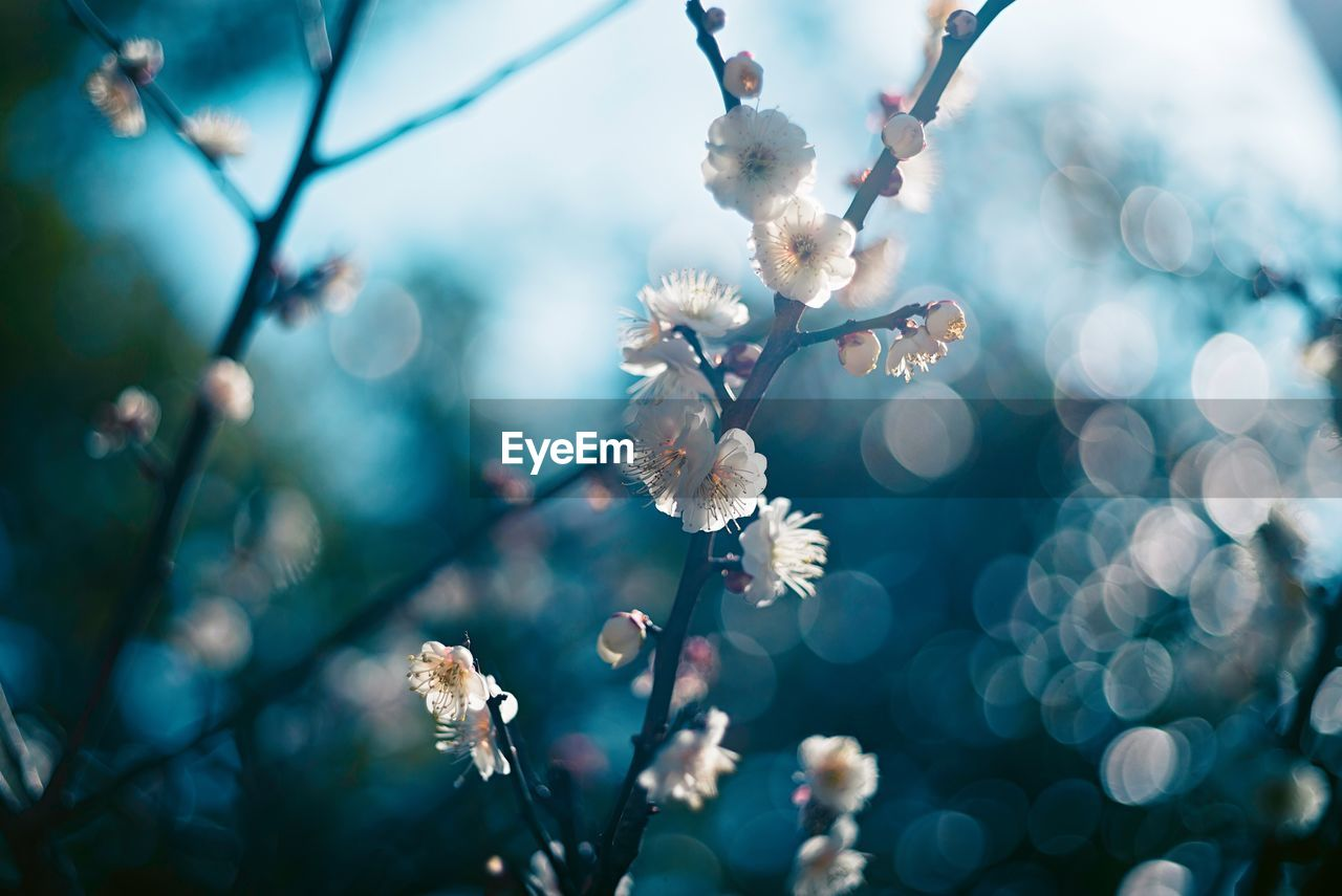 plant, flower, growth, flowering plant, beauty in nature, fragility, freshness, close-up, vulnerability, tree, branch, no people, focus on foreground, blossom, white color, nature, day, springtime, twig, selective focus, flower head, outdoors, pollen, cherry blossom, plum blossom, cherry tree