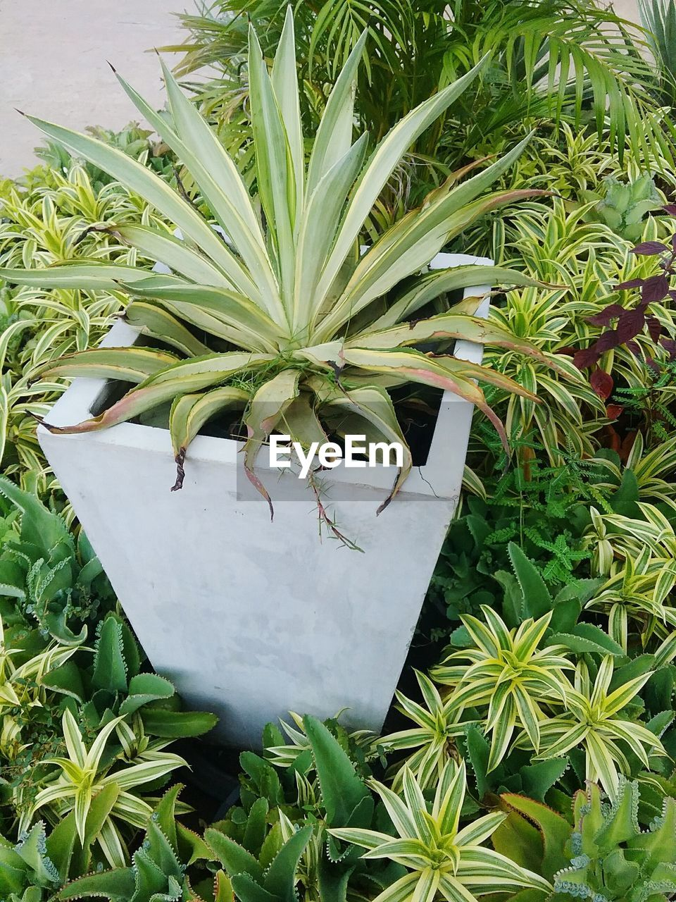 growth, green color, plant, plant part, leaf, beauty in nature, nature, no people, potted plant, day, close-up, white color, high angle view, outdoors, botany, front or back yard, fragility, vulnerability, succulent plant, pineapple, houseplant