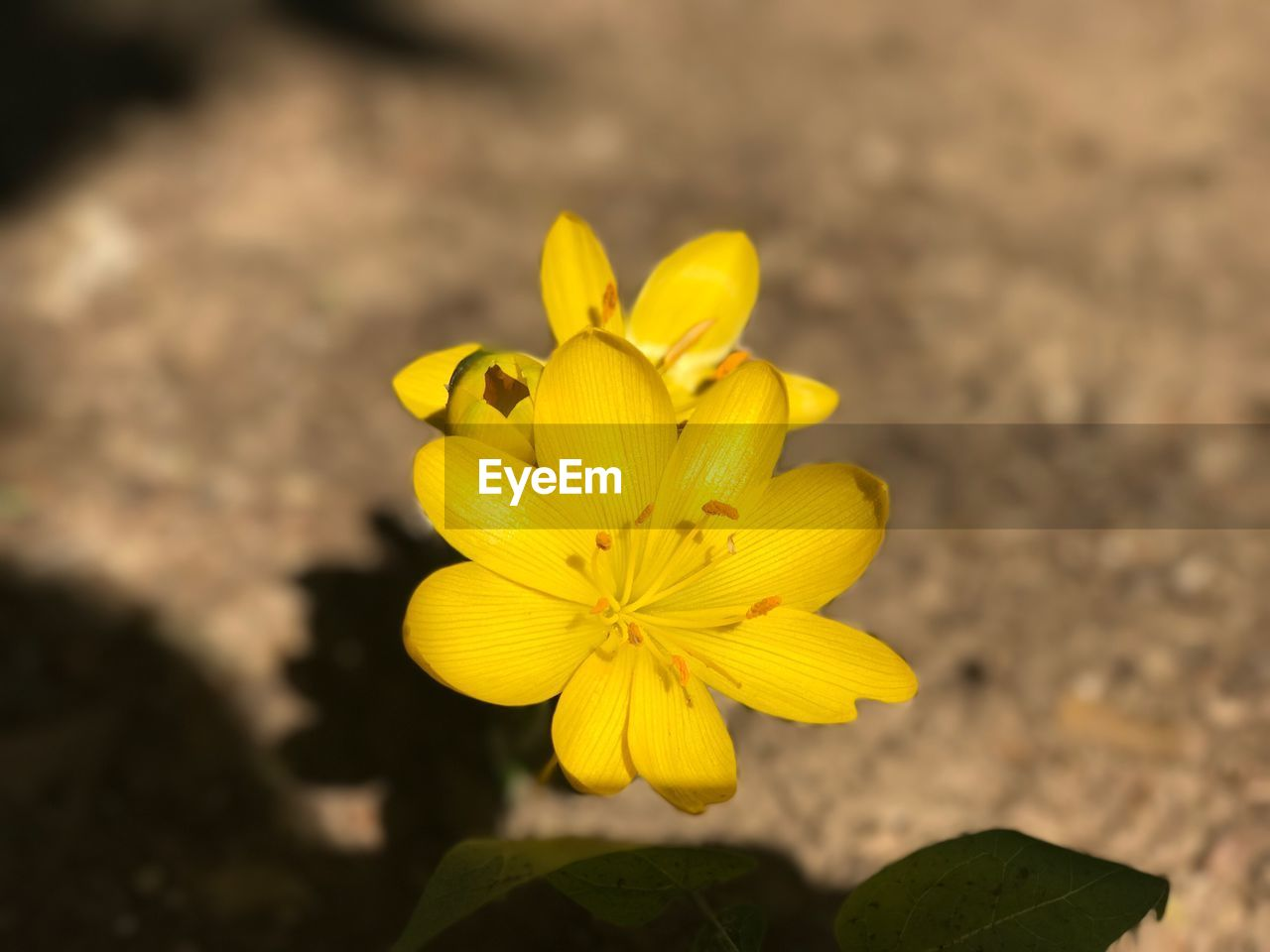 yellow, flower, petal, fragility, beauty in nature, nature, freshness, flower head, plant, growth, no people, outdoors, close-up, day, blooming