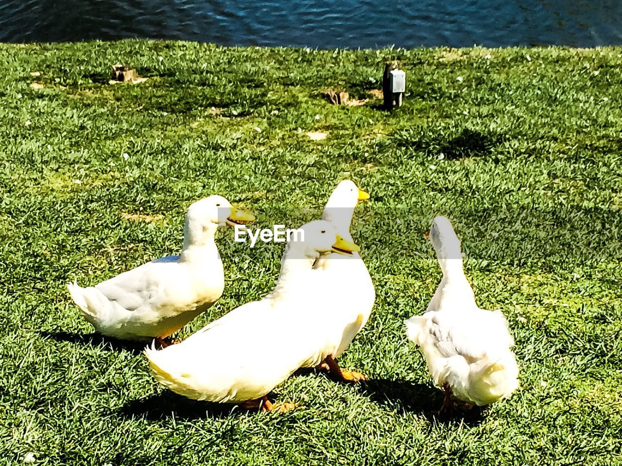 grass, bird, animal themes, field, duck, green color, day, high angle view, nature, animals in the wild, outdoors, no people, animal wildlife, lake, togetherness, water, beauty in nature, swan