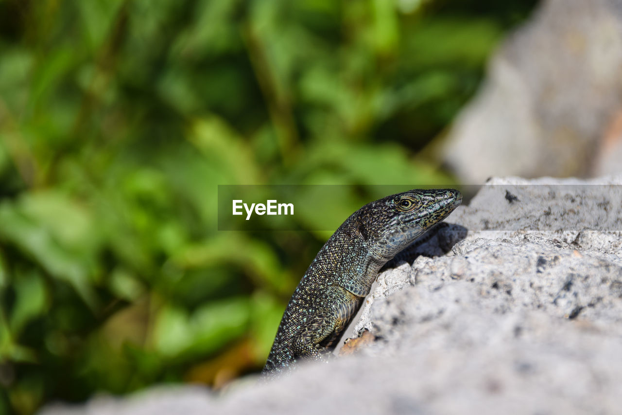 one animal, animals in the wild, animal wildlife, animal themes, selective focus, nature, close-up, day, outdoors, no people, reptile