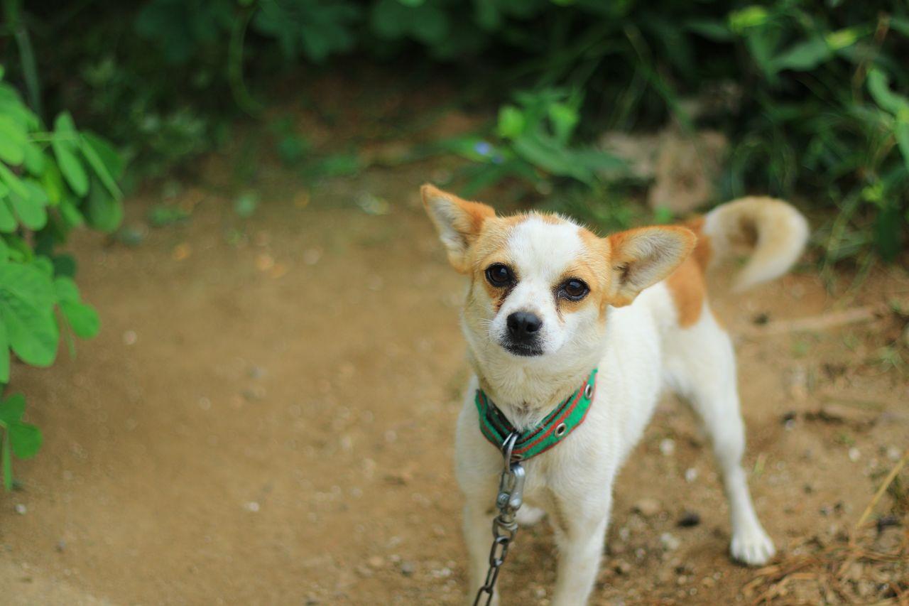High Angle Portrait Of Chihuahua Dog At Back Yard