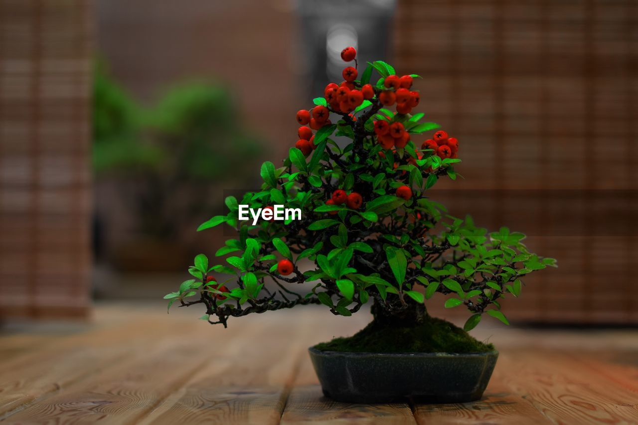 plant, potted plant, green color, growth, nature, no people, table, beauty in nature, plant part, leaf, focus on foreground, close-up, wood - material, bonsai tree, indoors, day, freshness, small, botany, houseplant, flower pot, gardening