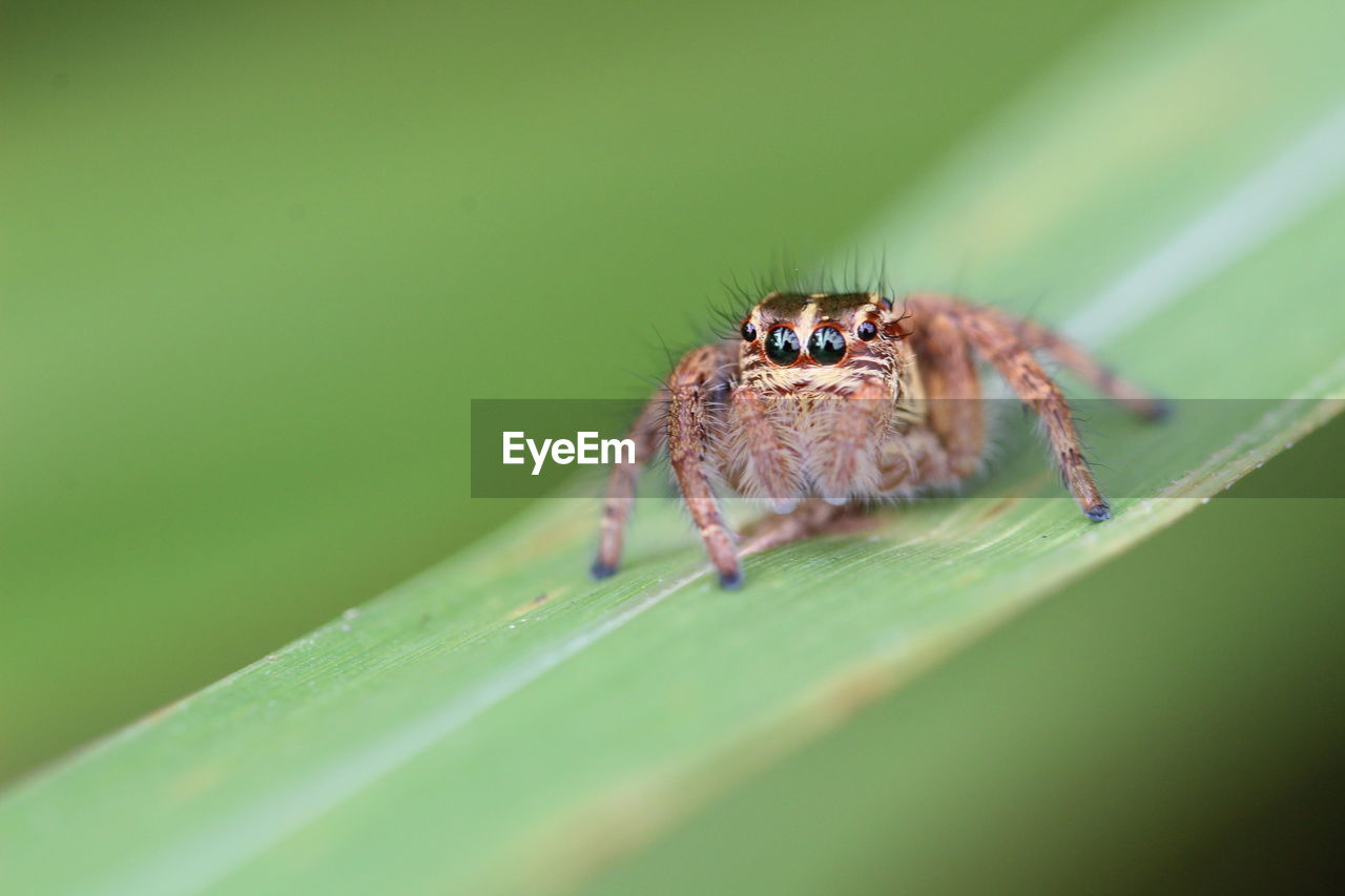 invertebrate, insect, one animal, animal, animal wildlife, animal themes, animals in the wild, arachnid, selective focus, spider, arthropod, close-up, jumping spider, zoology, leaf, plant part, green color, nature, plant, no people, outdoors, animal eye