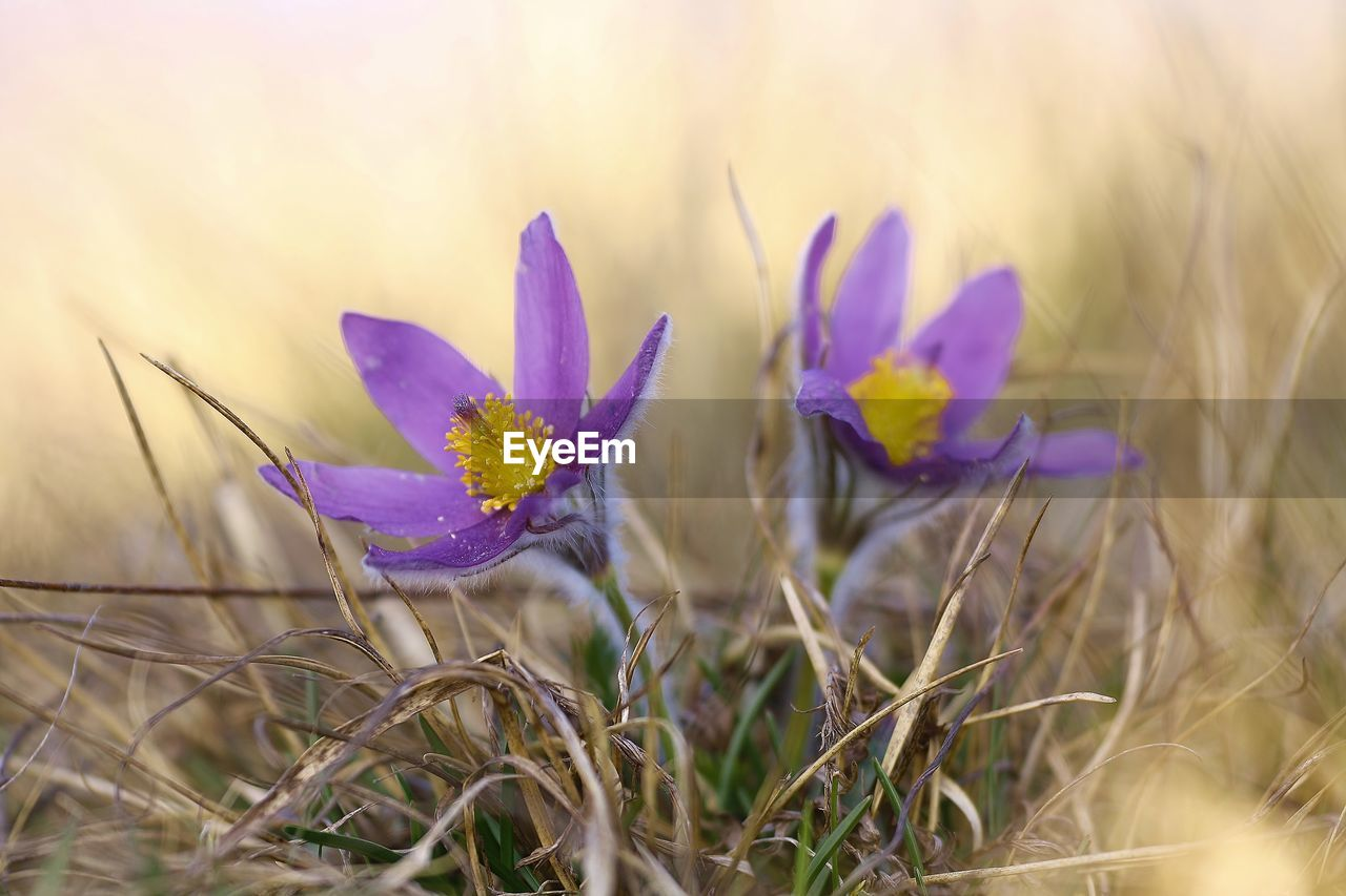 plant, flower, flowering plant, growth, beauty in nature, field, close-up, land, freshness, nature, selective focus, vulnerability, fragility, no people, purple, petal, tranquility, day, inflorescence, outdoors, flower head, crocus