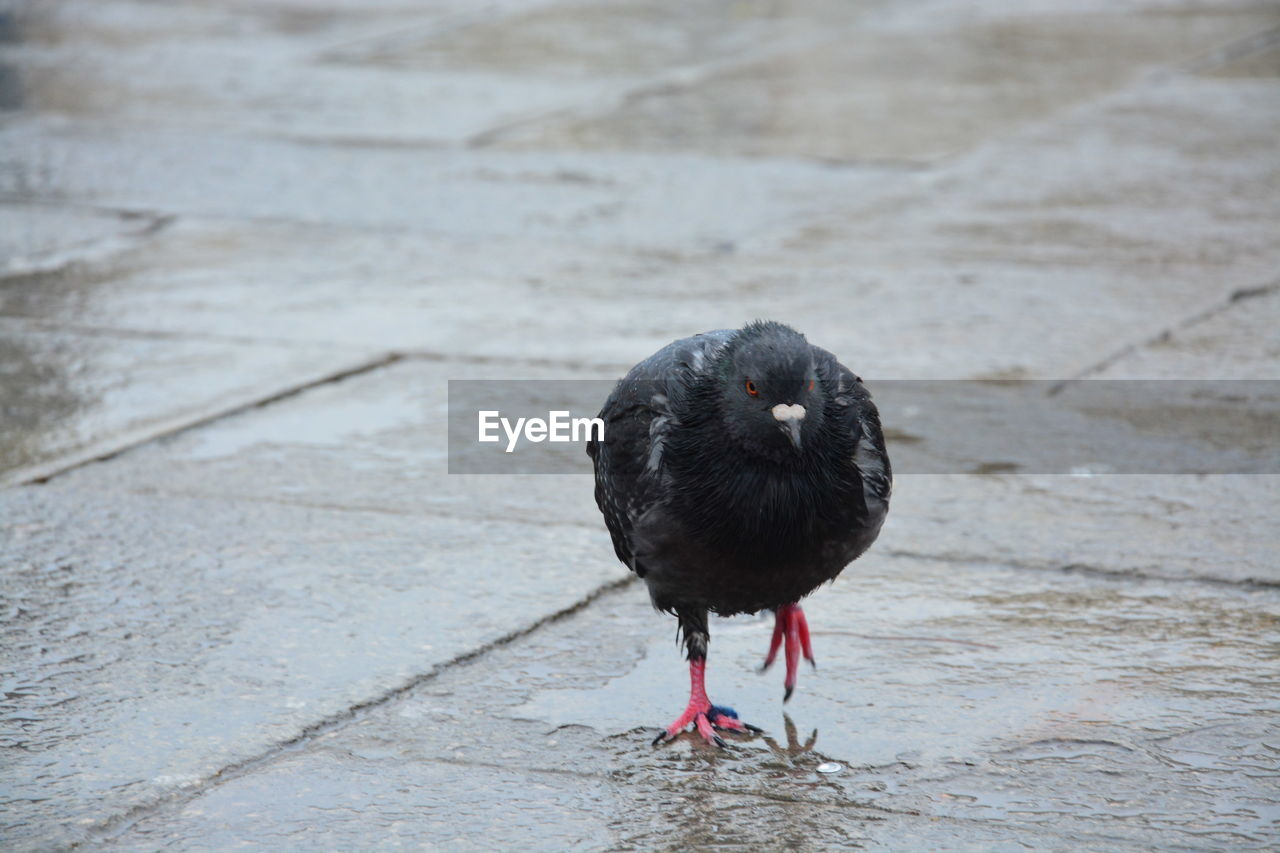 animal themes, one animal, animal, bird, vertebrate, animal wildlife, animals in the wild, day, black color, water, no people, perching, outdoors, focus on foreground, footpath, full length, nature, close-up, wet