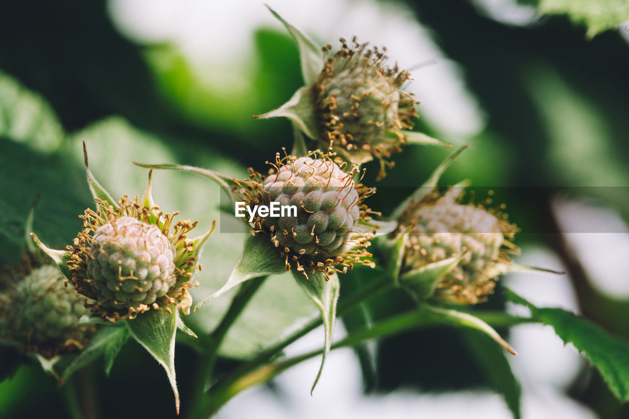 growth, plant, flower, close-up, flowering plant, selective focus, beauty in nature, nature, day, leaf, no people, freshness, plant part, green color, bud, focus on foreground, fragility, outdoors, vulnerability, sunlight, flower head