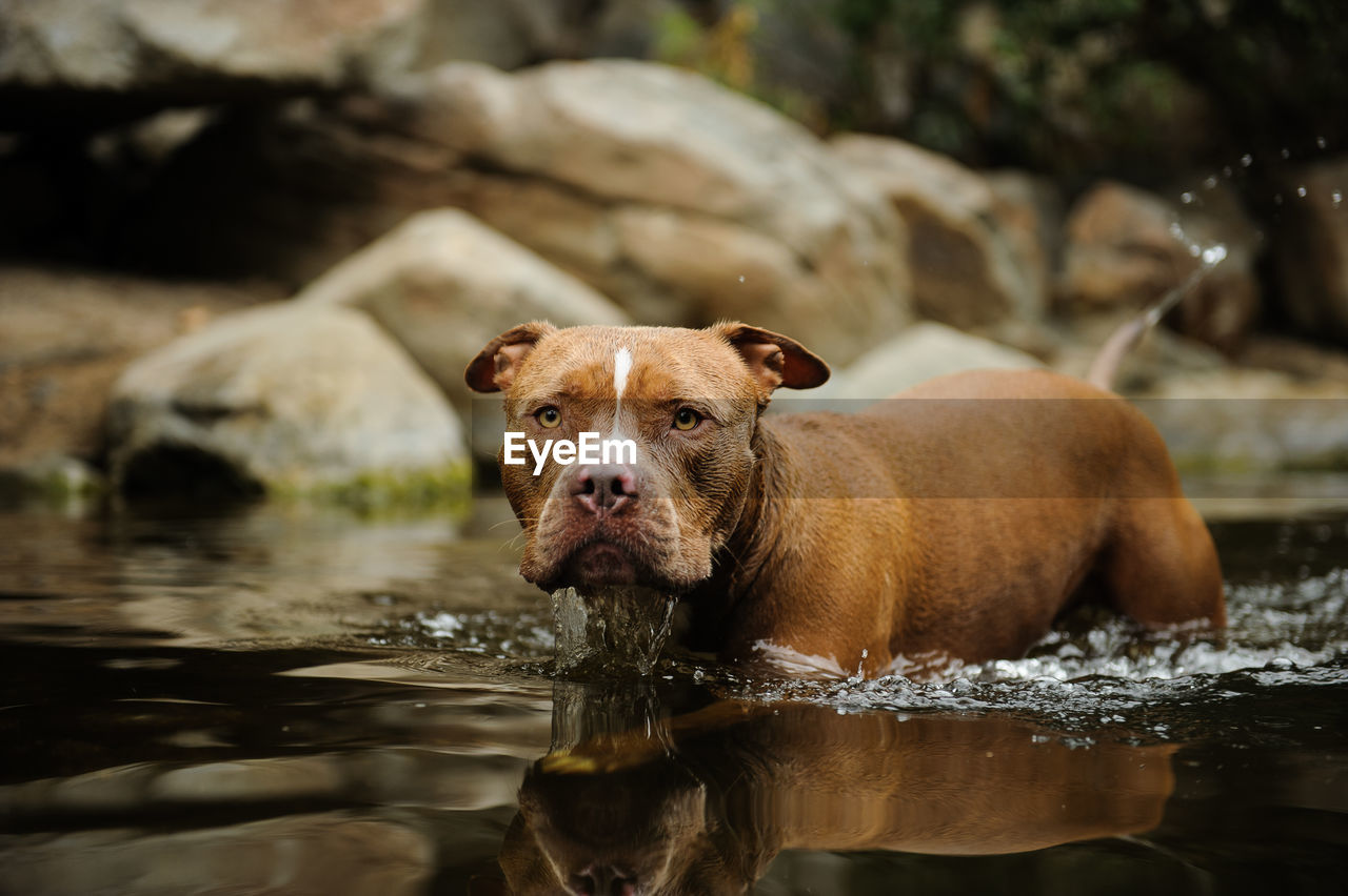 mammal, animal themes, animal, one animal, domestic, pets, water, domestic animals, vertebrate, dog, canine, waterfront, lake, day, portrait, nature, no people, looking at camera, looking, animal head, mouth open, animal mouth