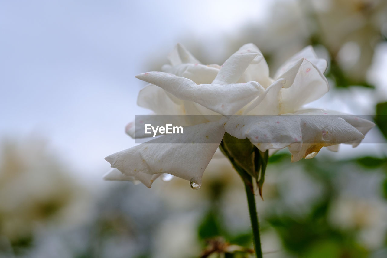 beauty in nature, plant, vulnerability, close-up, fragility, flower, growth, flowering plant, petal, freshness, focus on foreground, white color, inflorescence, flower head, no people, nature, day, selective focus, botany, outdoors, springtime