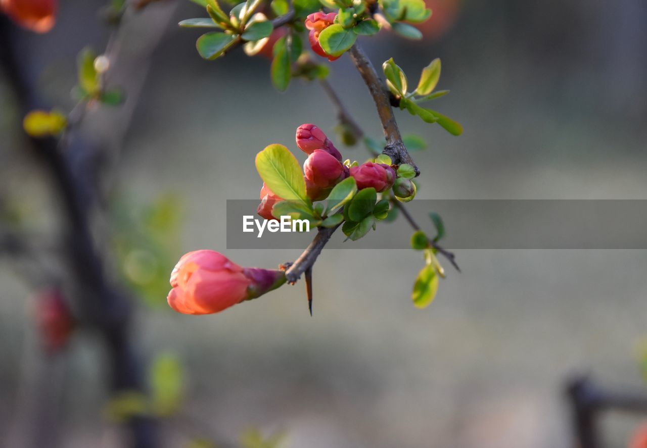 growth, nature, fruit, focus on foreground, growing, beauty in nature, flower, plant, close-up, outdoors, freshness, no people, day, tree, red, rose hip, fragility