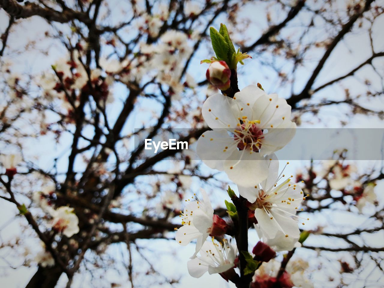 flower, fragility, blossom, white color, cherry blossom, tree, freshness, branch, springtime, apple blossom, beauty in nature, apple tree, cherry tree, petal, orchard, growth, nature, almond tree, flower head, botany, twig, plum blossom, pollen, stamen, no people, low angle view, close-up, selective focus, day, blooming, outdoors
