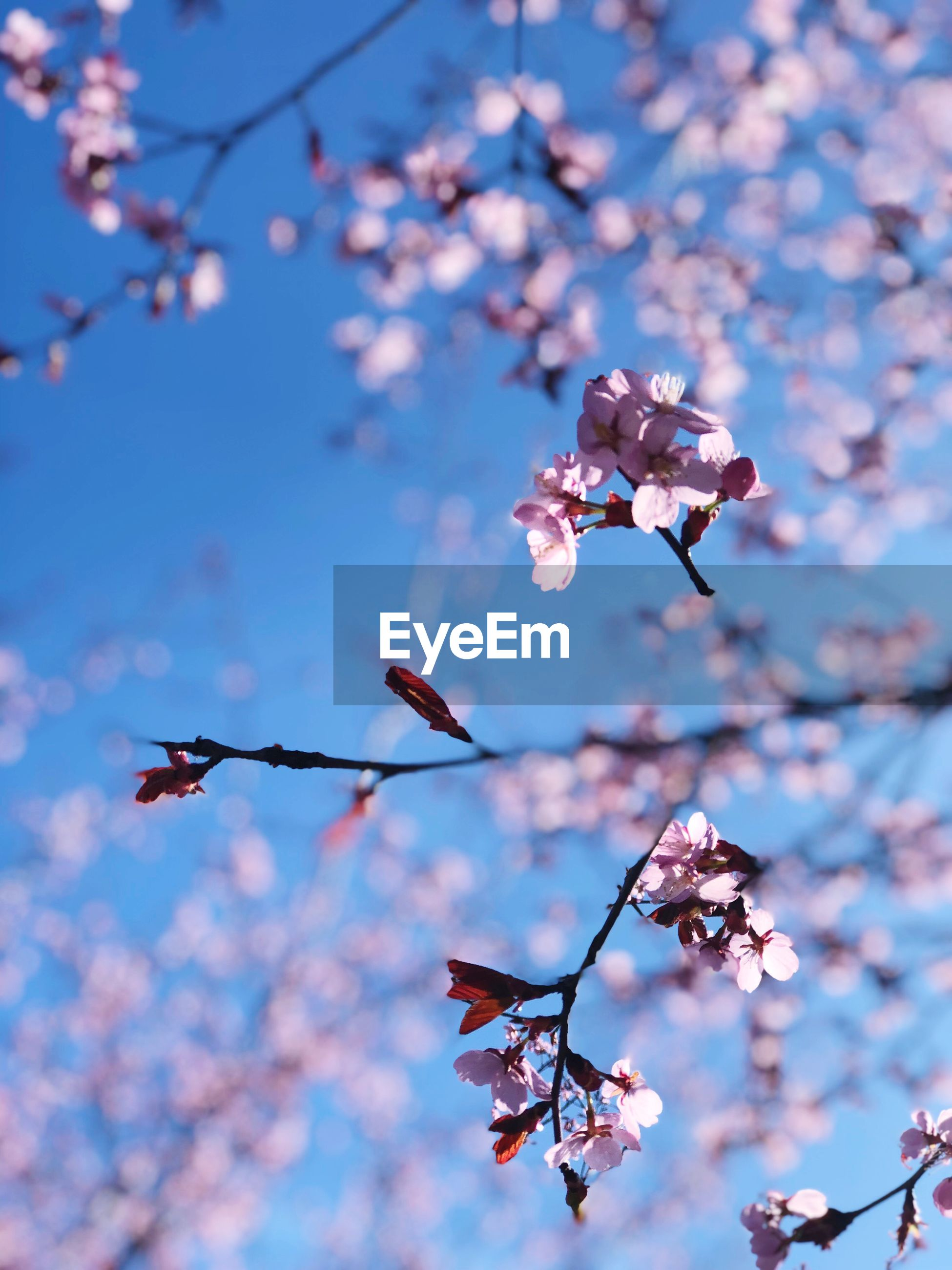 LOW ANGLE VIEW OF PINK CHERRY BLOSSOM AGAINST SKY
