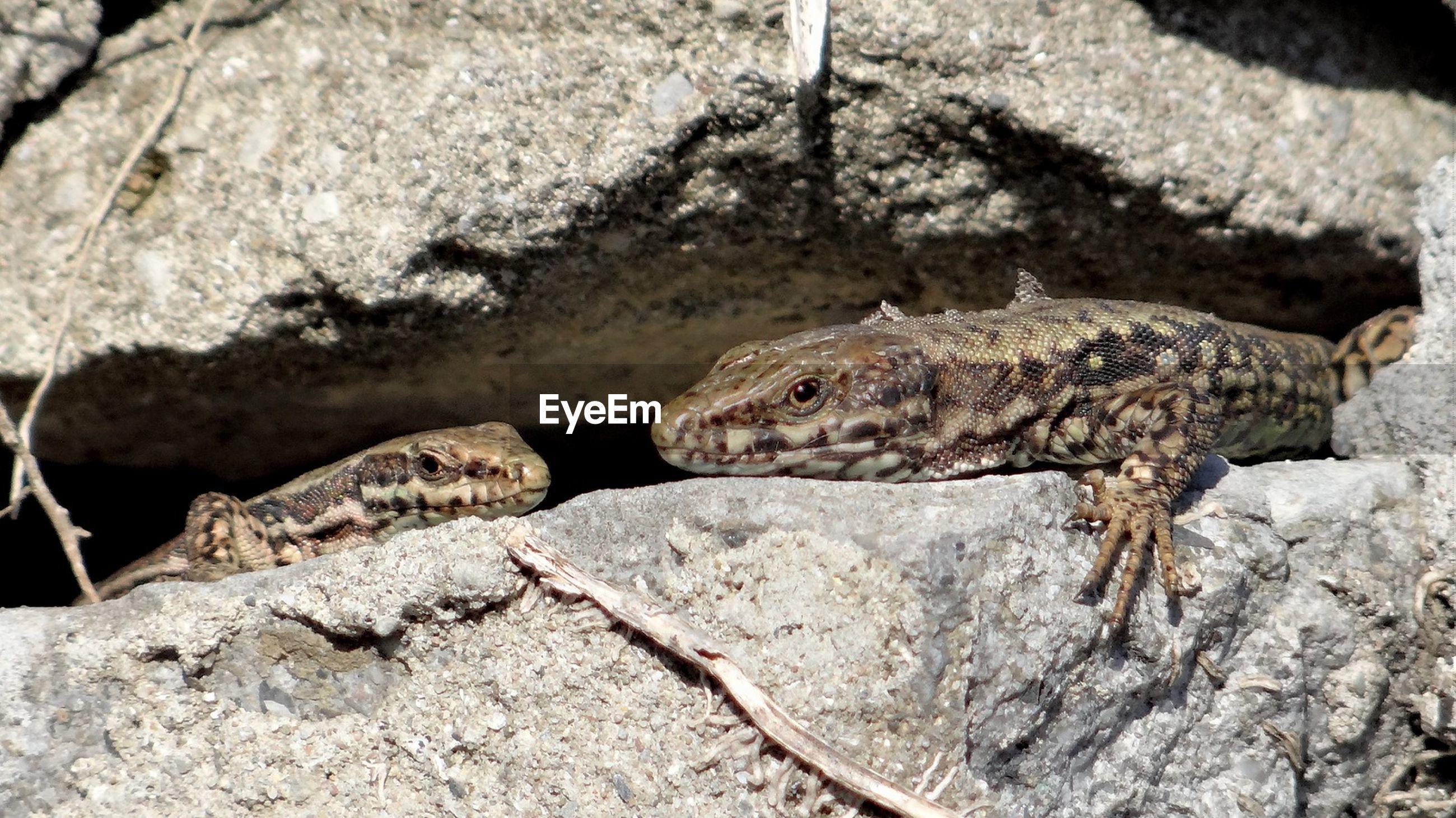 Close-up of lizards on rocks