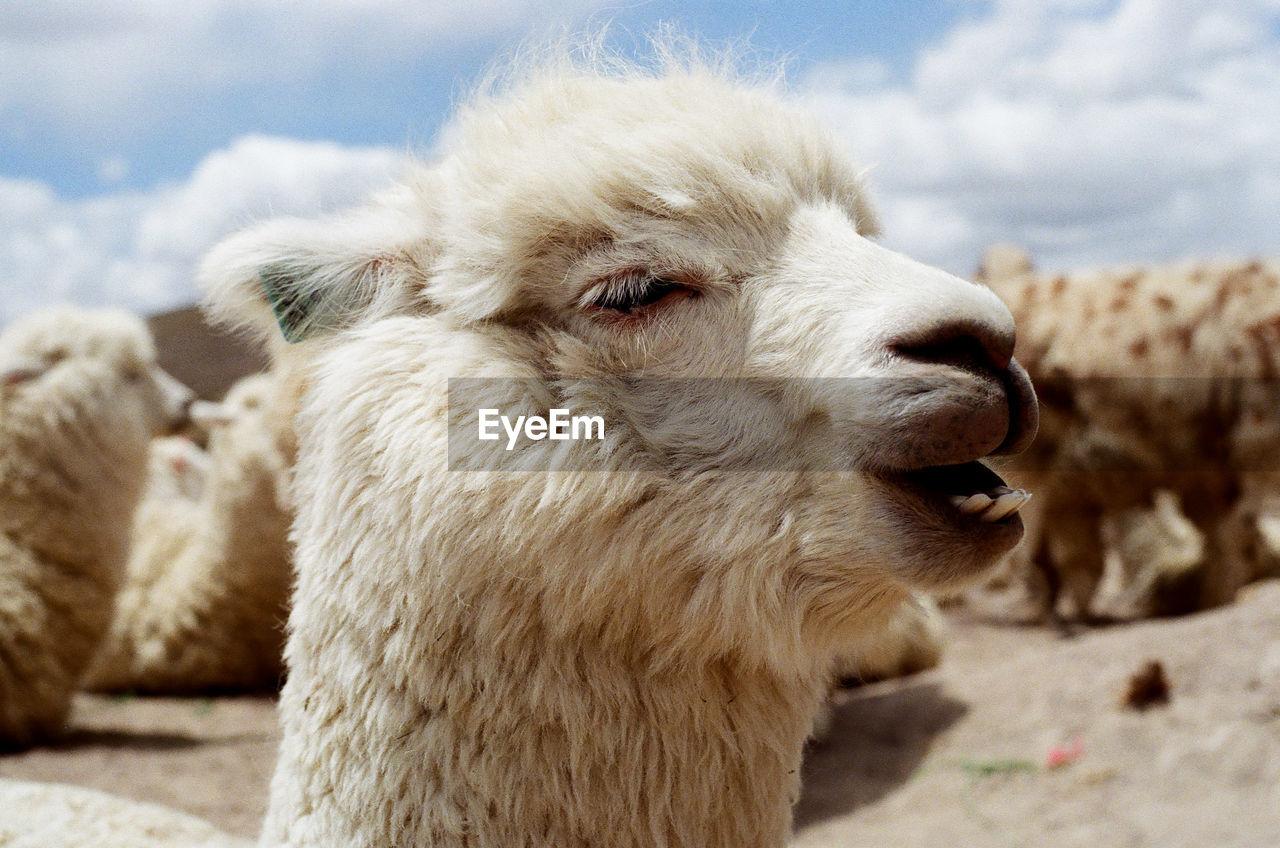 Close-up of llamas against sky