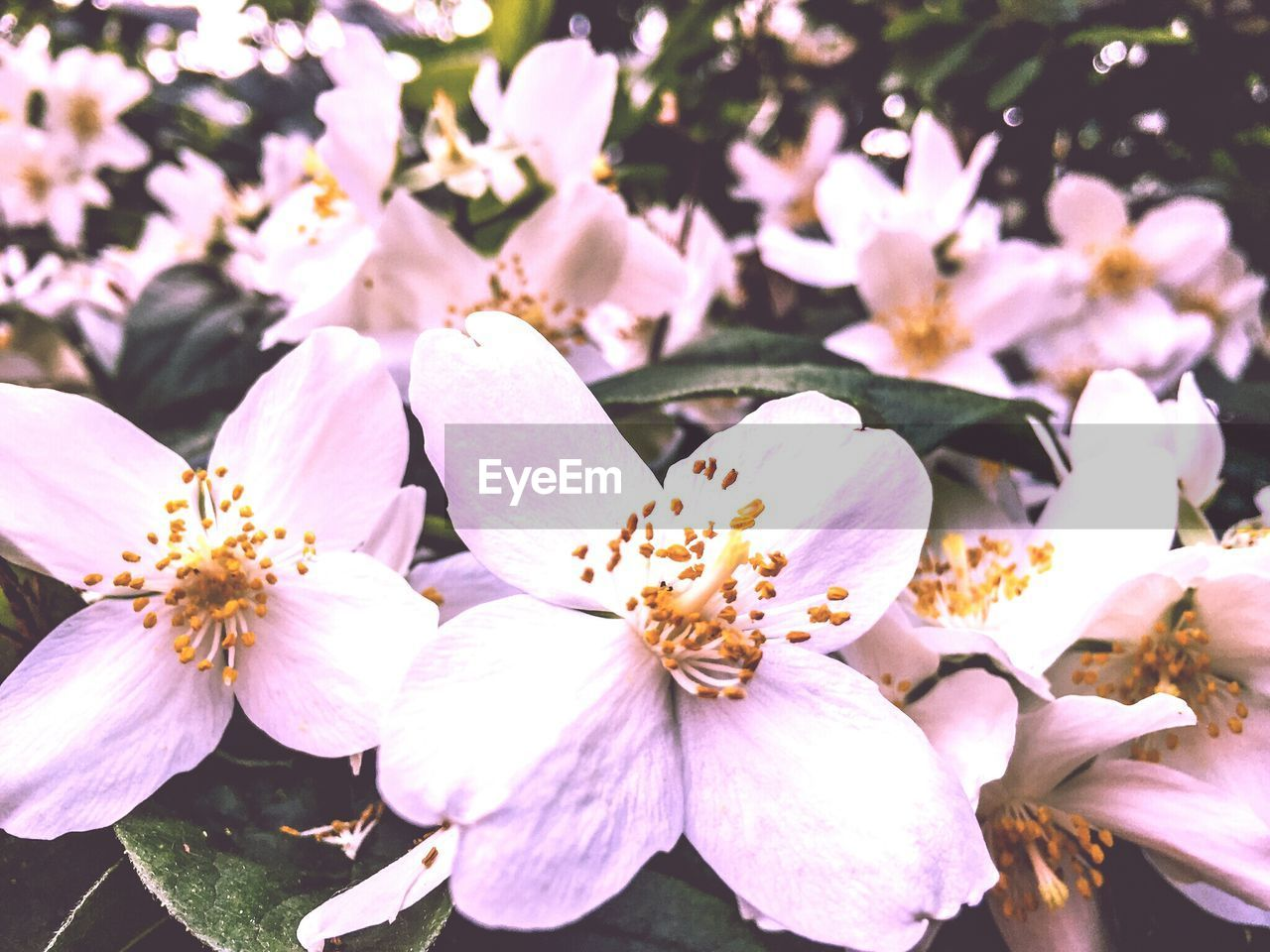 flower, petal, fragility, beauty in nature, growth, freshness, nature, blossom, flower head, springtime, pink color, stamen, white color, no people, pollen, close-up, day, tree, outdoors, branch, blooming