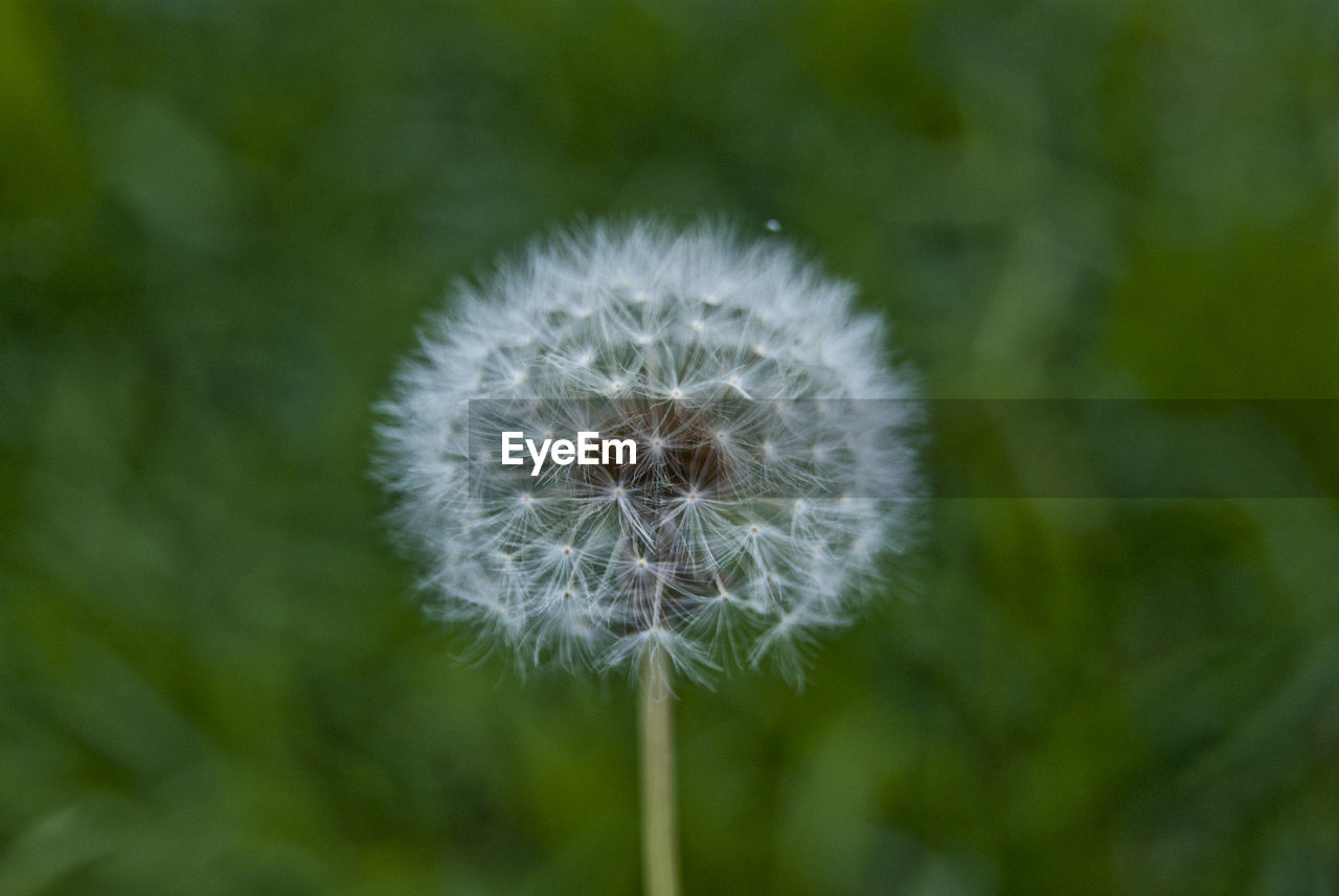 flower, plant, freshness, vulnerability, fragility, dandelion, flowering plant, beauty in nature, close-up, inflorescence, growth, focus on foreground, flower head, no people, nature, softness, day, dandelion seed, white color, outdoors