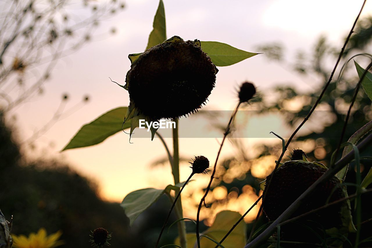 nature, plant, flower, growth, focus on foreground, outdoors, close-up, beauty in nature, no people, leaf, fragility, day, field, freshness, sky, blooming, tree, flower head, thistle