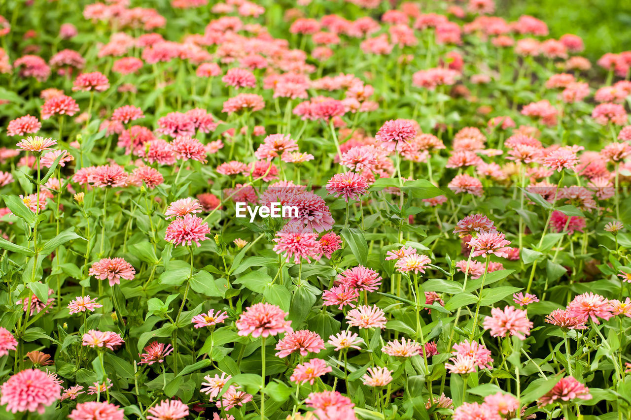 flowering plant, flower, plant, beauty in nature, freshness, fragility, pink color, vulnerability, growth, green color, nature, flower head, no people, inflorescence, petal, field, day, botany, land, outdoors, flowerbed, springtime, gardening