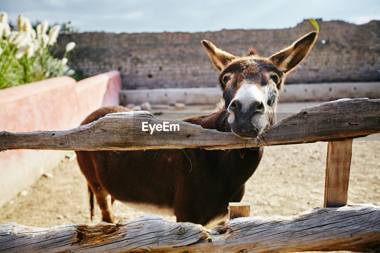 mammal, animal, animal themes, domestic animals, pets, domestic, one animal, vertebrate, wood - material, day, livestock, looking at camera, no people, focus on foreground, standing, portrait, boundary, fence, barrier, nature, herbivorous, outdoors, animal head, animal pen