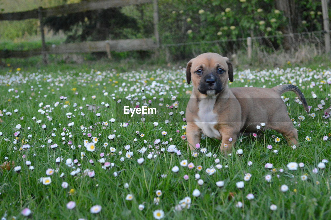 one animal, plant, animal themes, canine, pets, mammal, dog, domestic animals, domestic, animal, flowering plant, flower, grass, growth, no people, field, nature, young animal, puppy, selective focus, small, purebred dog