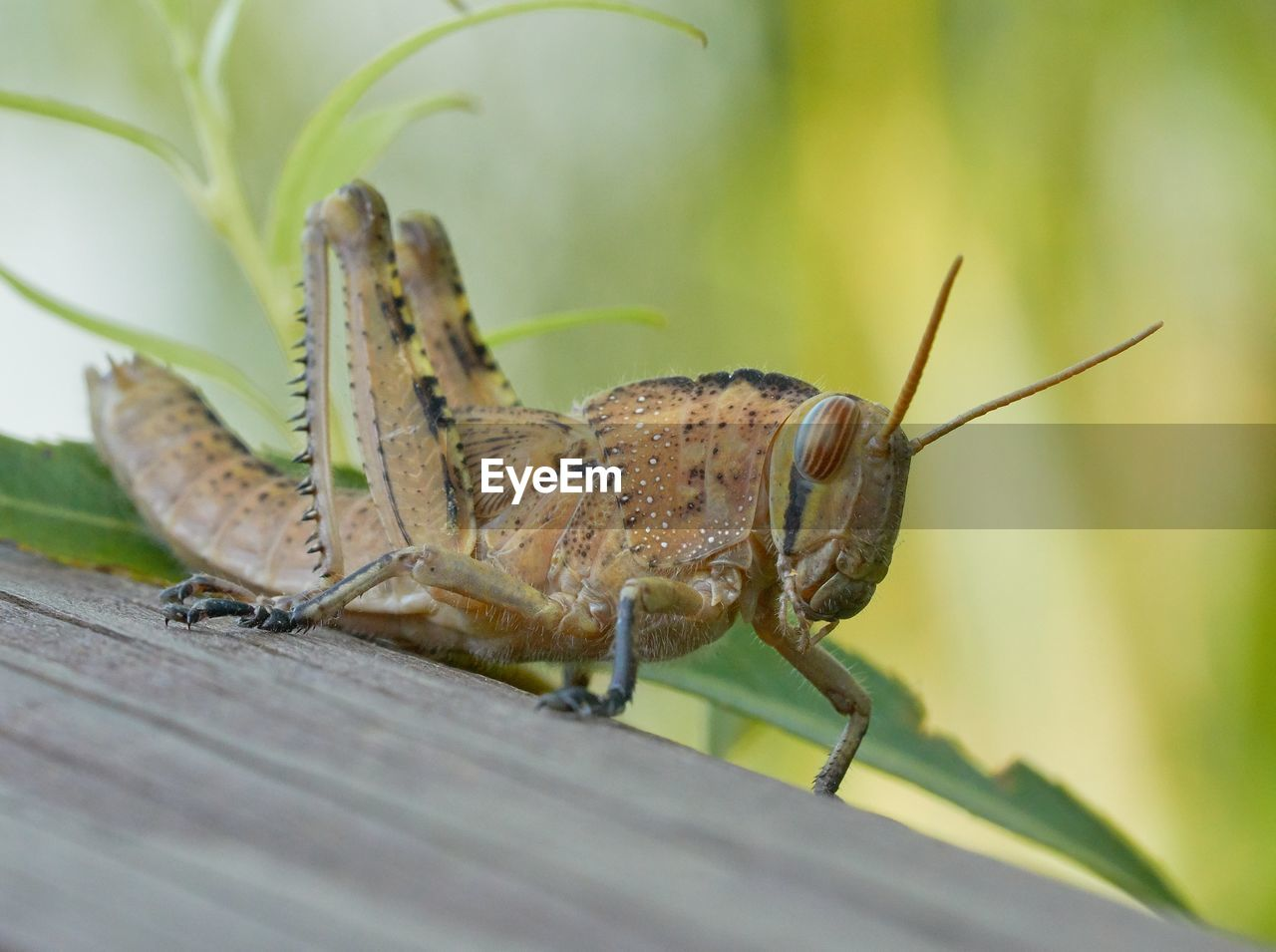 animal themes, animal wildlife, animals in the wild, animal, one animal, invertebrate, insect, close-up, selective focus, day, grasshopper, no people, nature, animal antenna, animal body part, outdoors, zoology, green color, plant, plant part