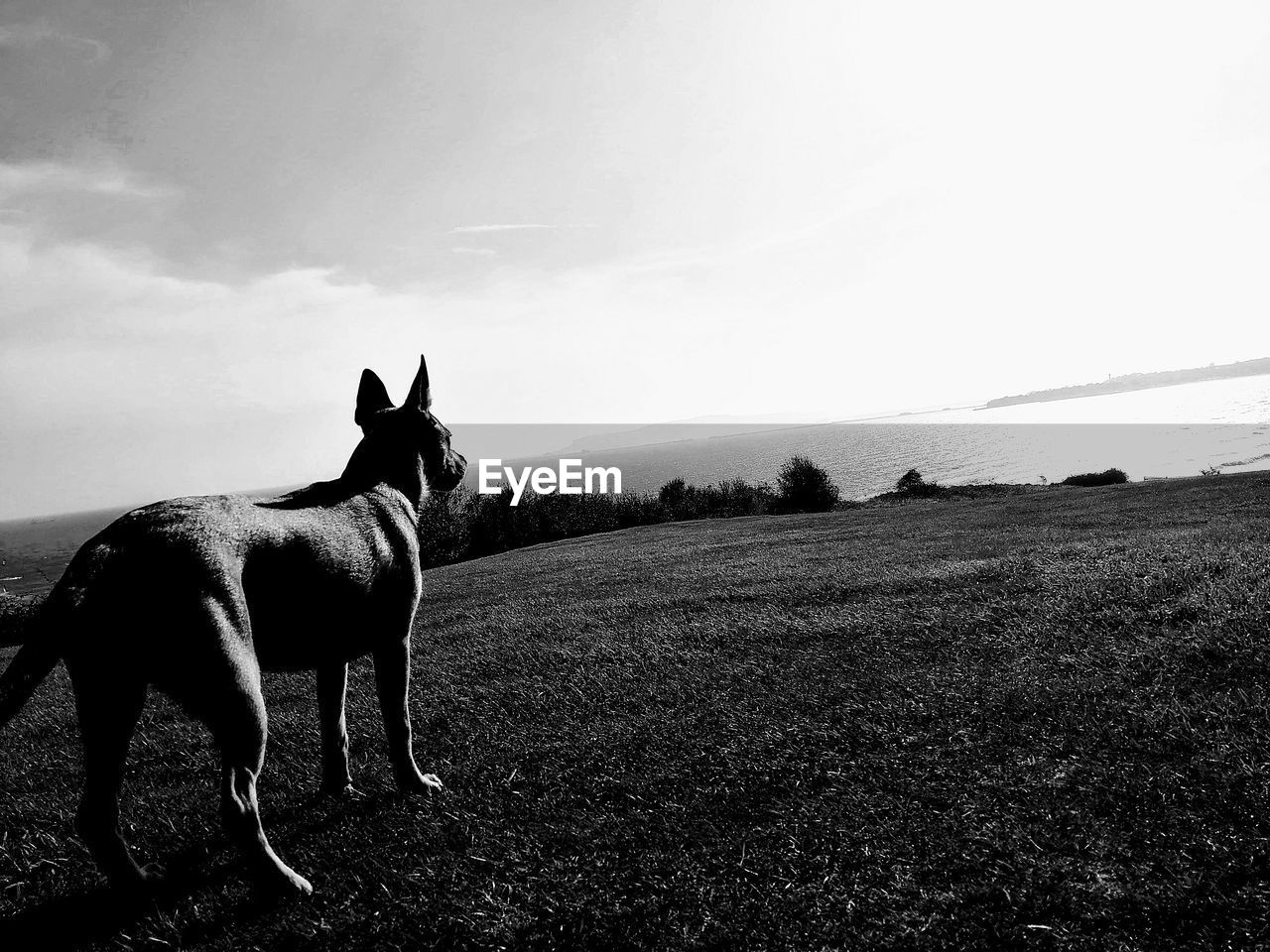 domestic animals, domestic, mammal, pets, animal themes, animal, one animal, sky, vertebrate, land, field, nature, landscape, dog, day, canine, environment, grass, no people, standing, outdoors, herbivorous