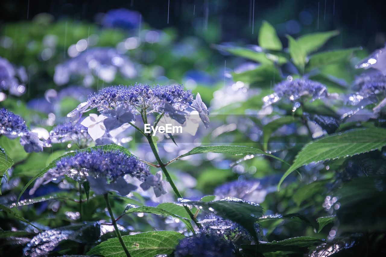 growth, beauty in nature, plant, flowering plant, flower, leaf, plant part, fragility, close-up, vulnerability, freshness, purple, nature, focus on foreground, water, no people, selective focus, day, petal, outdoors, flower head, purity, lilac, dew