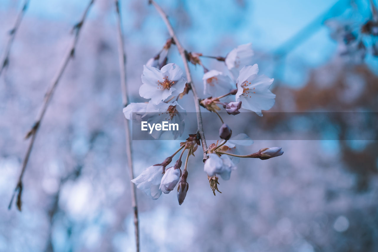 plant, beauty in nature, vulnerability, growth, flower, fragility, flowering plant, focus on foreground, close-up, day, no people, nature, freshness, petal, outdoors, white color, selective focus, tranquility, branch, twig, flower head, cherry blossom