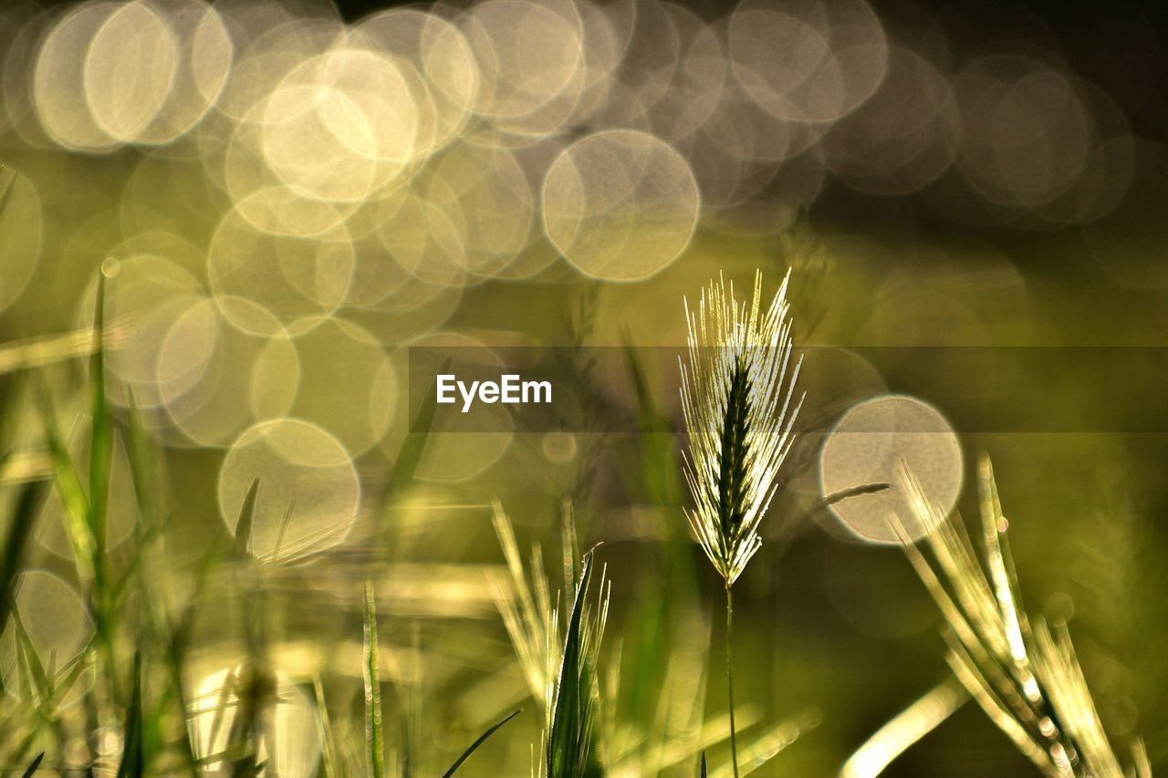 plant, growth, close-up, beauty in nature, focus on foreground, nature, freshness, flower, green color, flowering plant, selective focus, no people, vulnerability, fragility, day, sunlight, lens flare, field, outdoors, grass, flower head, blade of grass
