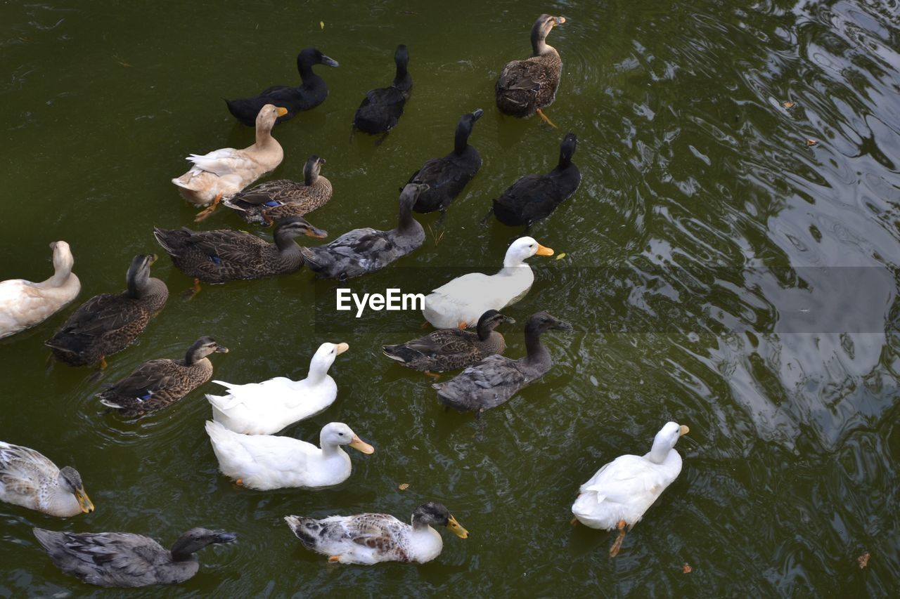 animal themes, bird, animals in the wild, lake, animal wildlife, high angle view, large group of animals, water, nature, white color, day, swan, outdoors, waterfront, flock of birds, no people, water bird, swimming, togetherness