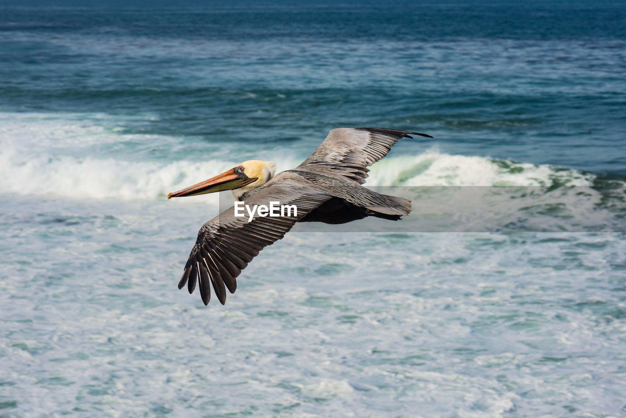 Pelican flying over sea