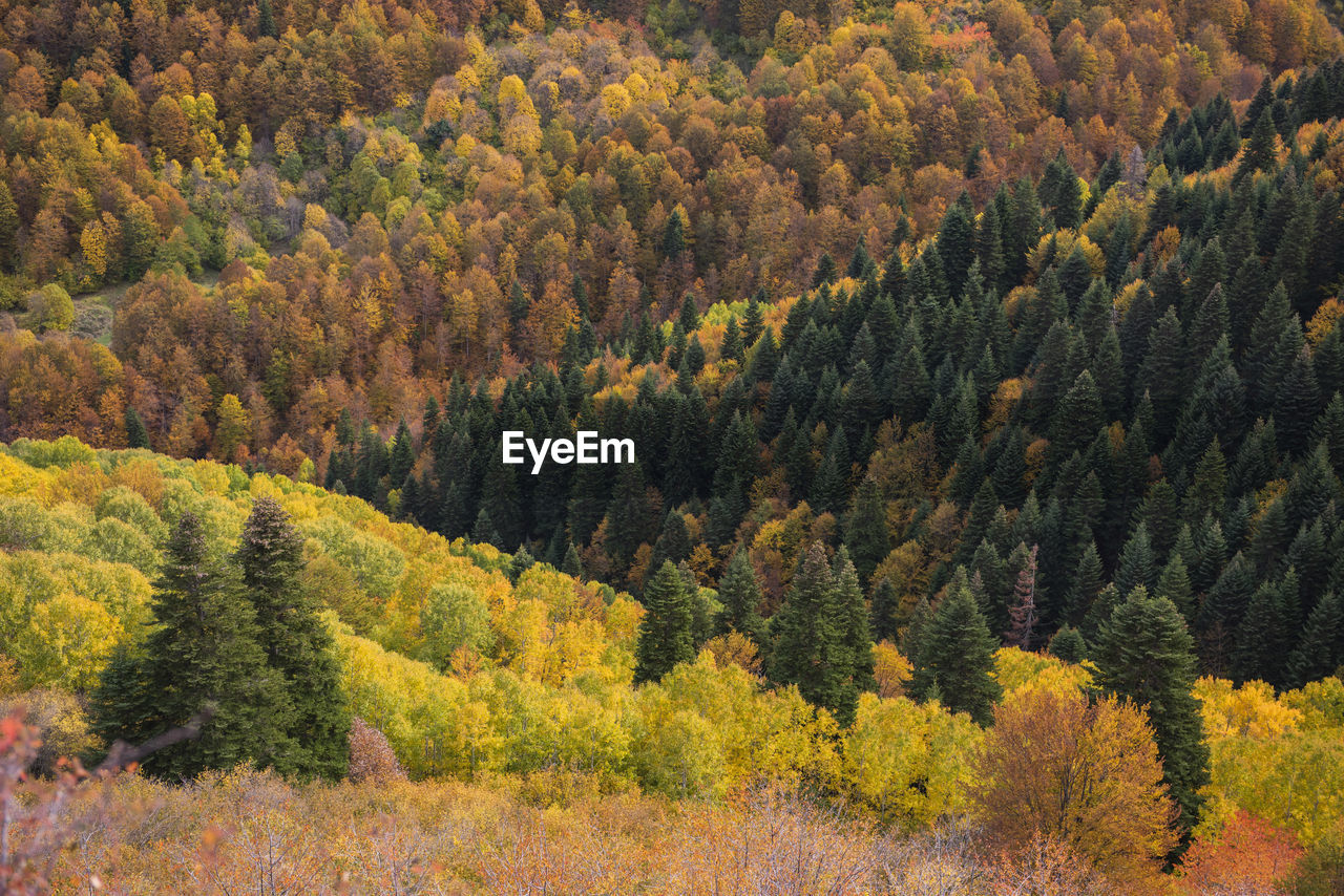 HIGH ANGLE VIEW OF PINE TREES DURING AUTUMN