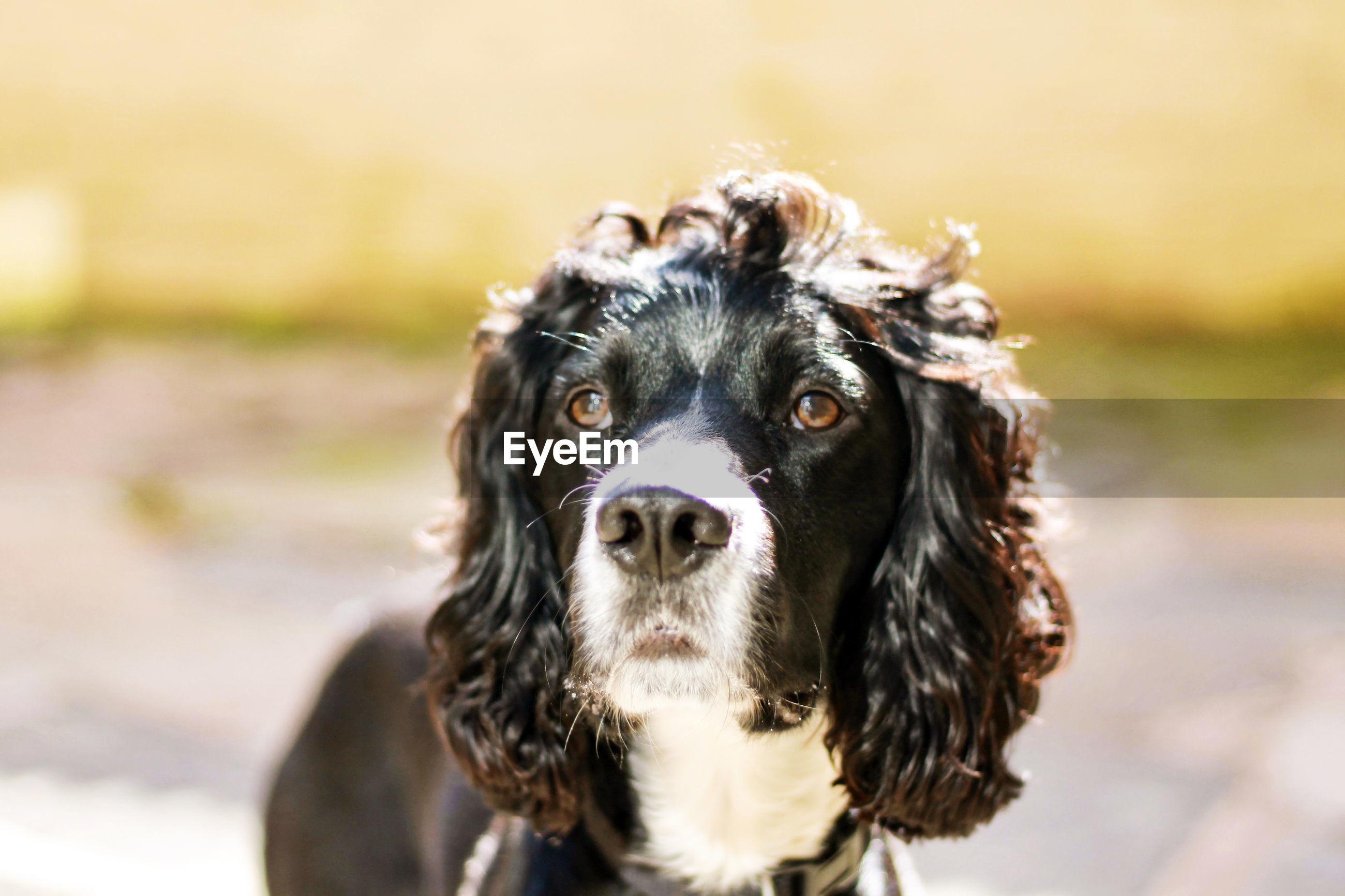 CLOSE-UP PORTRAIT OF DOG AT CAMERA