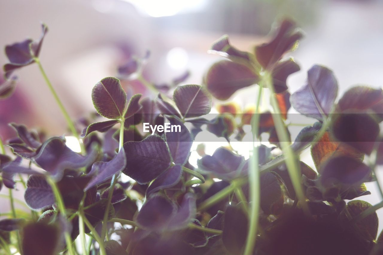 flower, plant, flowering plant, growth, freshness, beauty in nature, close-up, vulnerability, fragility, petal, nature, selective focus, day, inflorescence, flower head, sunlight, purple, no people, outdoors, plant part