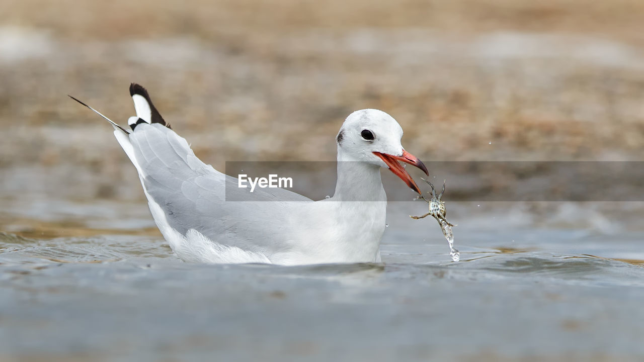 Close-up of seagull eating prey while swimming on sea