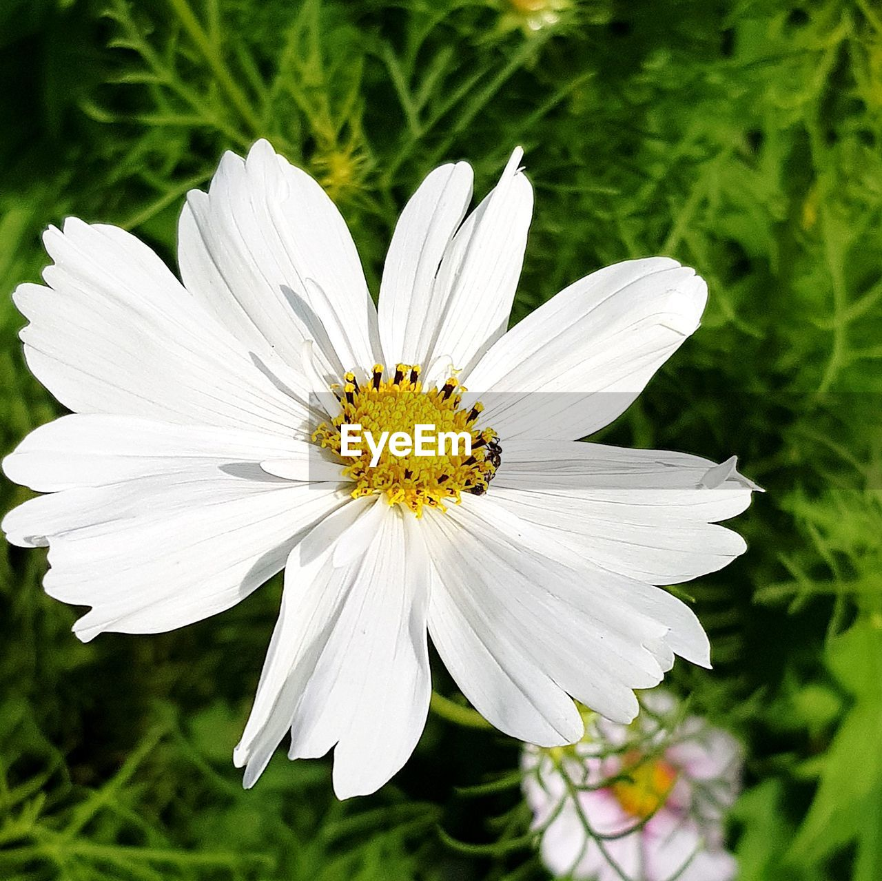 flowering plant, flower, plant, fragility, vulnerability, freshness, petal, flower head, growth, inflorescence, beauty in nature, white color, close-up, pollen, focus on foreground, nature, cosmos flower, day, no people